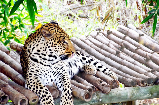 Leopard, Africa, Wildcat, Concerns, Cat, Wild Animal