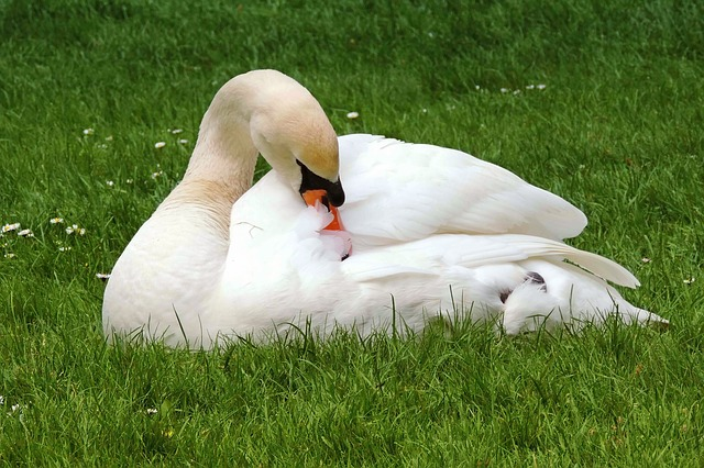 Swan, Mute Swan, White, Plumage, Meadow, Concerns