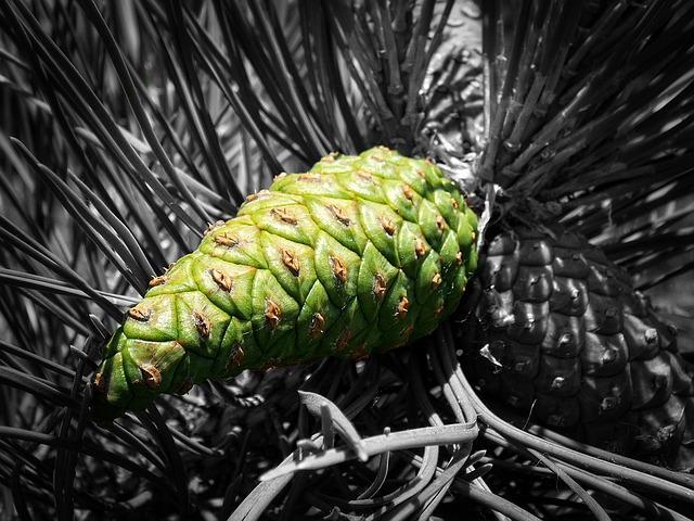 Cone, Forest, Pine, Summer, Evergreen Tree, Green