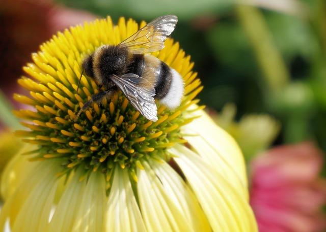 Hummel, Insect, Coneflower, Flower, Blossom, Bloom