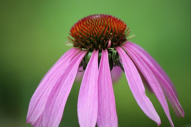 Coneflower, Echinacea, Purpurea, Blossom, Bloom