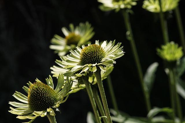 Coneflowers, Wildflowers, Meadow, Echinacea, Macro