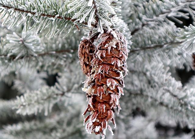 Douglas Fir, Cone, Frost, Frosty, Hoarfrost, Conifer