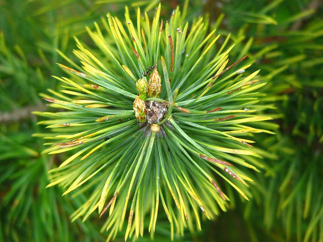 Pine, Needles, Forest, Green, Pointed, Tree, Conifer