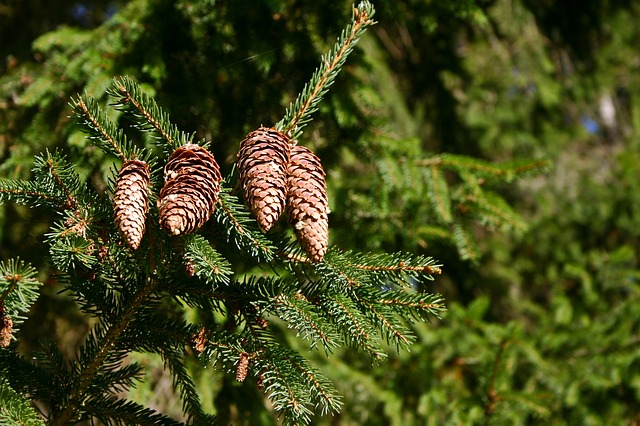 Spruce, Pine Cones, Tree, Conifer, Tap, Common Spruce