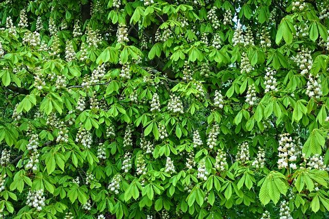 Horse-chestnut, Conker Tree, Chestnut Tree, Flower