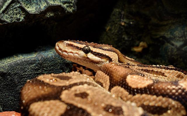 Snakehead, Drop Of Water, Constrictor, Ball Python, Boa