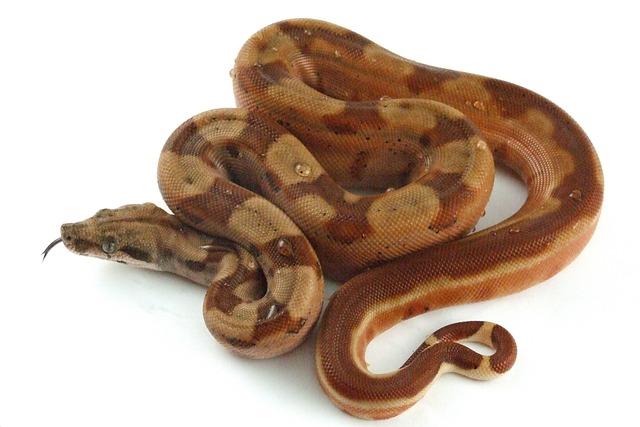 Reptile, Snake, Hypo, Boa, Constrictor, Exotic, Boid