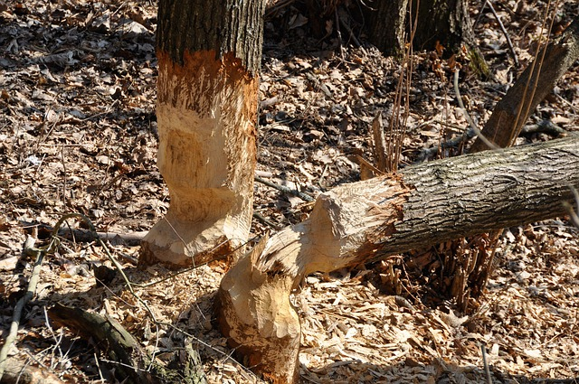 Beaver, Lodges, Construction, Forest, Trees, Felled