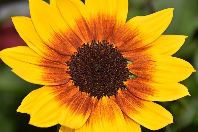 Helianthus Sunbelievable, Big Flower, Contrast Bicolor