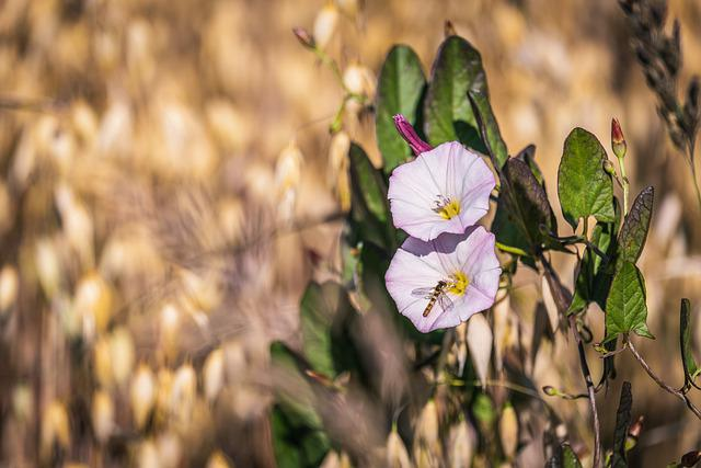 Farmland-winds, Convolvulus Arvensis, Plant