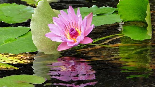 Flower, Lotus, Summer, Cool
