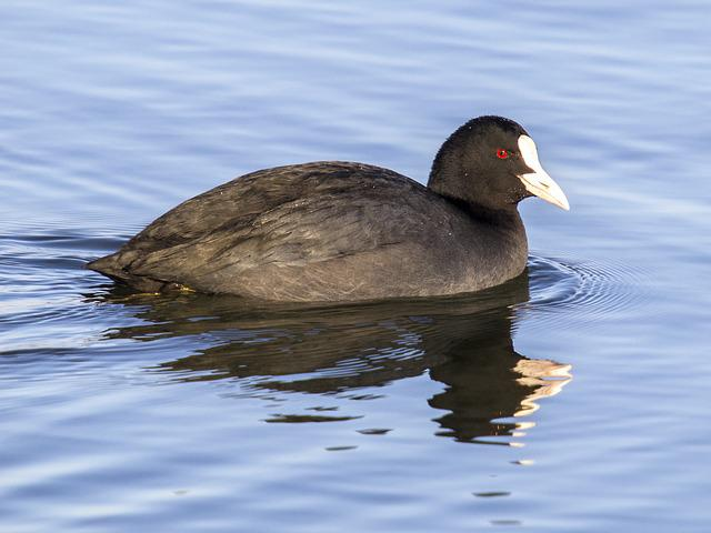Coot, Water Bird, Bird, Nature, Animal