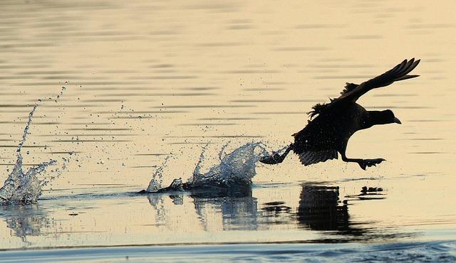 Coot, Bird, Water Bird