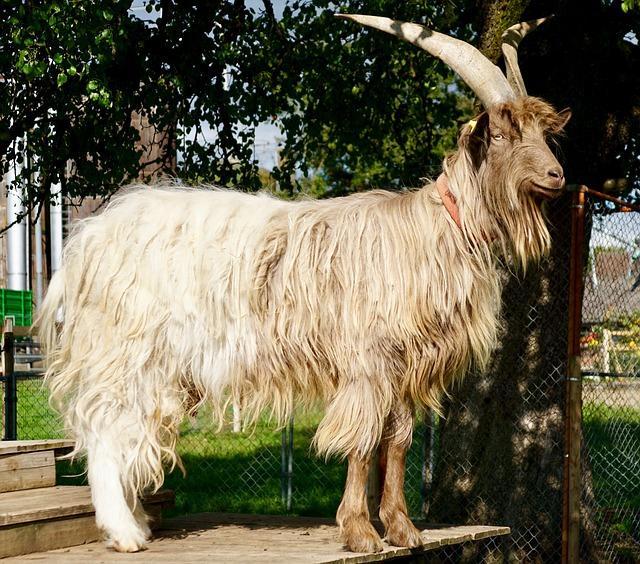 Goat, Large, Horns, Fur, Hair, Rarely, Copper Neck Goat