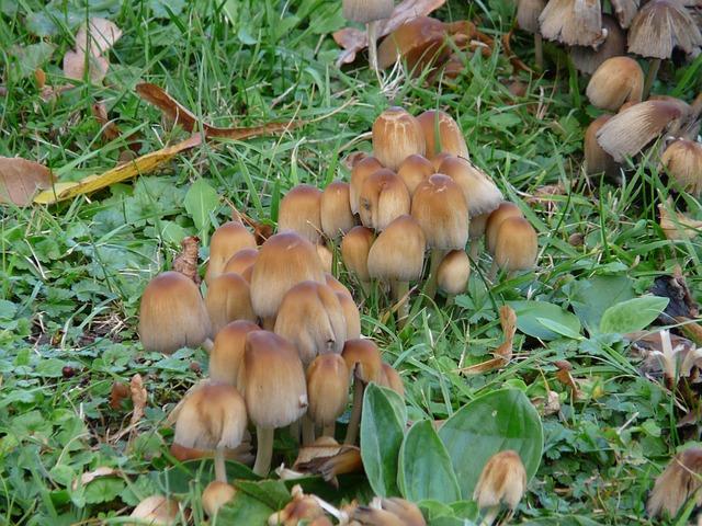 Mica Coprinus, Coprinus, Coprinus Micaceus, Mushrooms