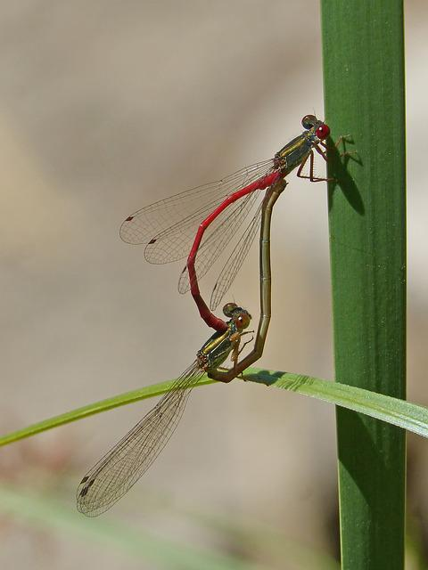 Dragonflies, Couple, Copulation, Mating, Insects Mating