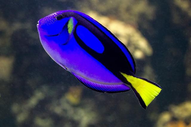 Fish, Sea fish, Blue, Coral Fish, Dori