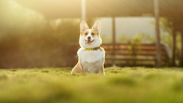 Dog, Corgi, Cute, Animal