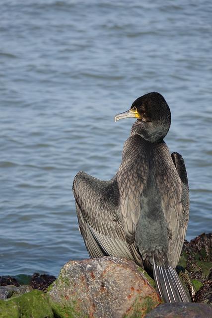 Sea, Cormorant, Bird, Coast
