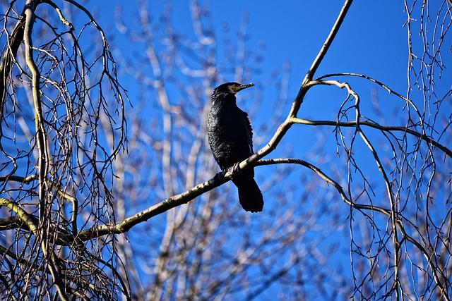 Great Black Cormorant, Cormorant, Bird, Seabird