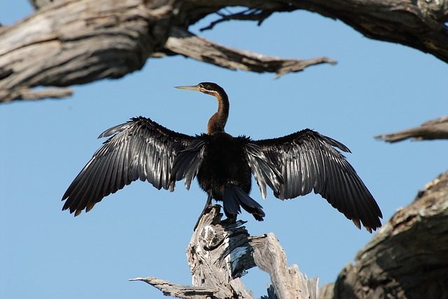 Cormorant, Bird, Drying, Wings