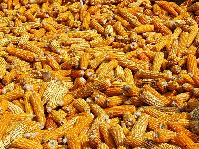 Corn, Drying, Annapurna, Nepal