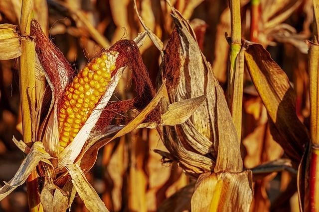 Corn On The Cob, Corn, Zea Mays, Corn Kernels, Yellow