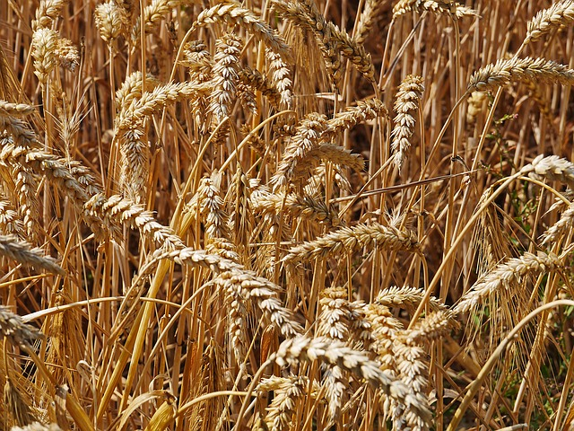 Harvest Time, Cornfield, Cereals, Spike, Wheat, Ripe