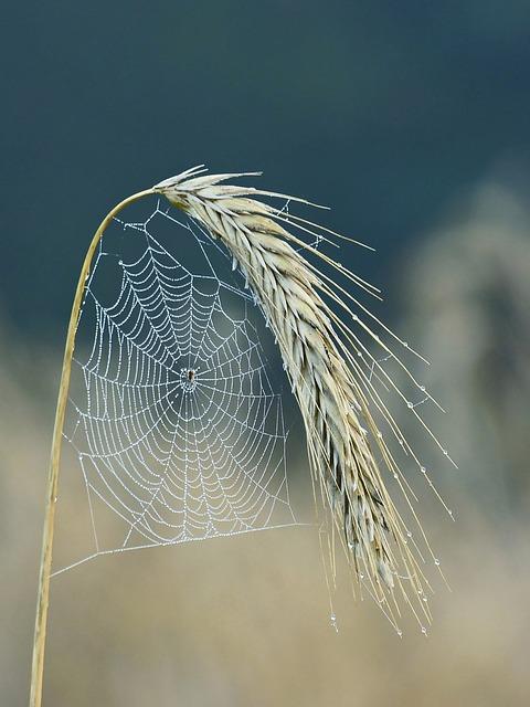 Cobweb, Spider, Halm, Cereals, Cornfield, Ear, Nature