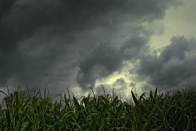 Cornfield, Gewitterstimmung, Low Angle Shot