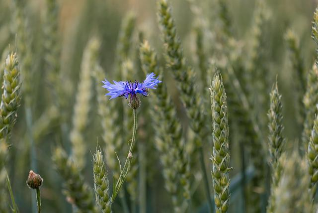 Cornflower, Wheat Field, Cornfield, Spike, Cereals