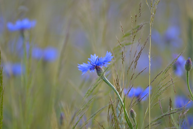 Cornflower, Cornfield, Field, Blue, Summer, Blossom