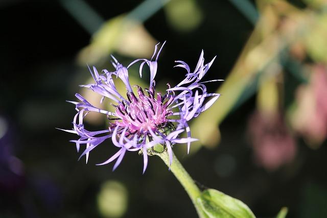 Cornflower, Cyanus, Young, Centaurea Cyanus, Blue