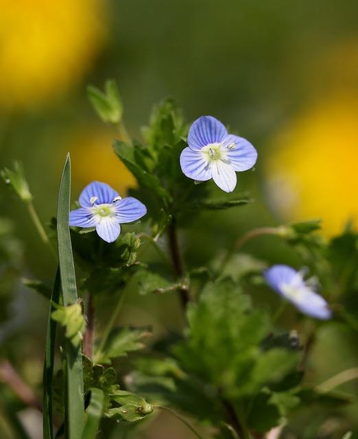 Flower, Blue, Small, Wild, Plant, Cornflower, Camp