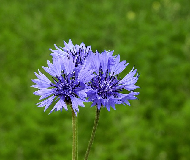 Flower, Cornflower, Wildflowers, Meadow, Blue Flowers