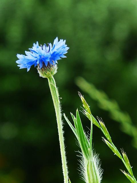 Cornflower, Blue, Flower, Nature, Summer, Wild Flower