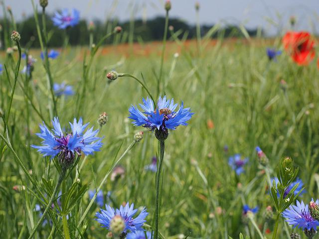 Cornflowers, Kornblumenfeld, Flower, Blossom, Bloom
