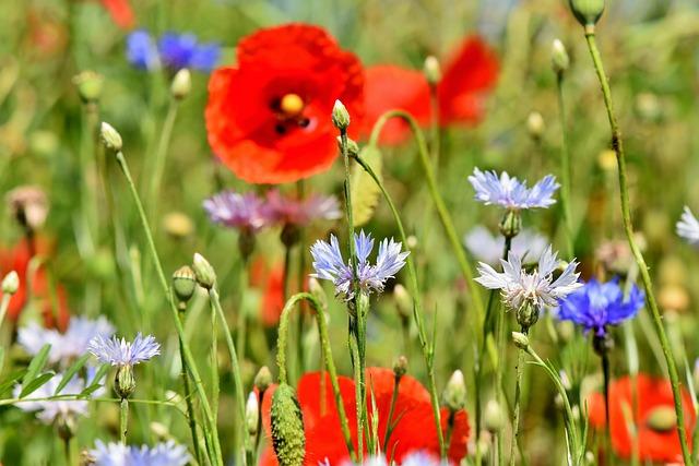 Cornflowers, Poppies, Field Of Flowers, Flowers, Buds