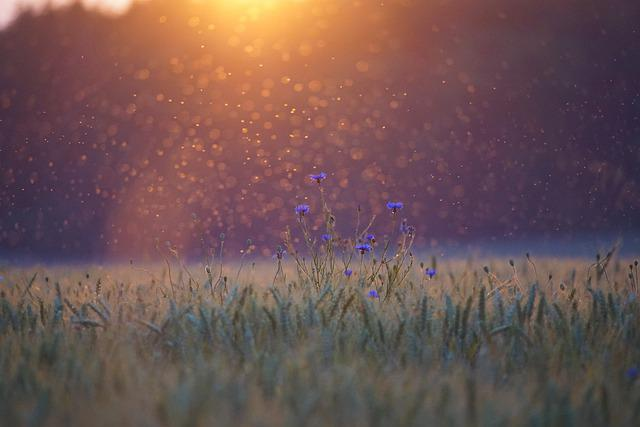 Cornflowers, Sunset, Mosquitoes, Mosquito Swarm, Field