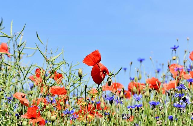 Poppies, Flowers, Cornflowers, Buds, Flower Meadow