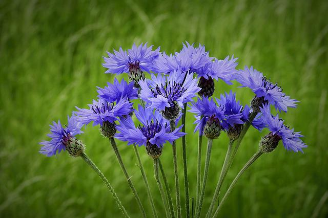 Cornflowers, Spring, Meadow, Nature