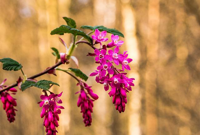 Corpuscle, Ribes Sanguineum, Blossom, Bloom