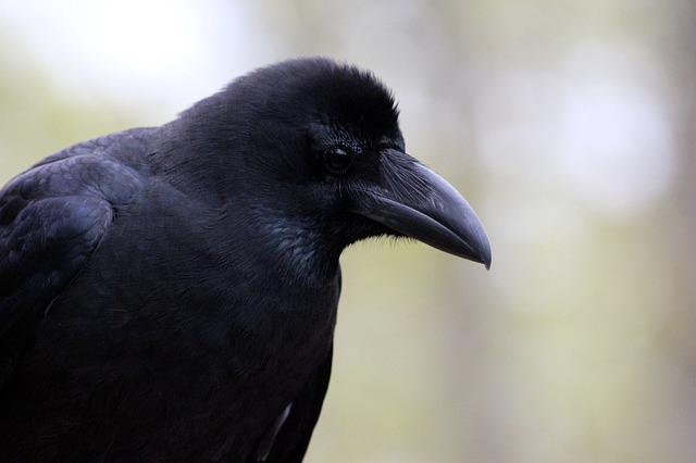 A Crow, Corvus Macrorhynchos, Bird, Crow, Living Nature