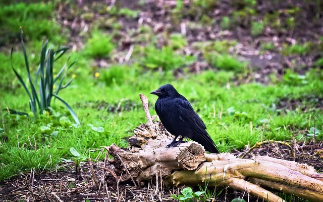 Crow, Bird, Animal, Corvus, Corvidae, Smart