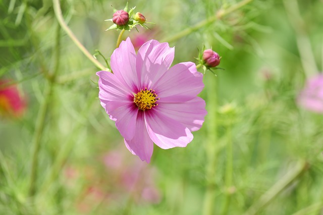 Cosmea, Flower, Blossom, Bloom, Flowers, Pink