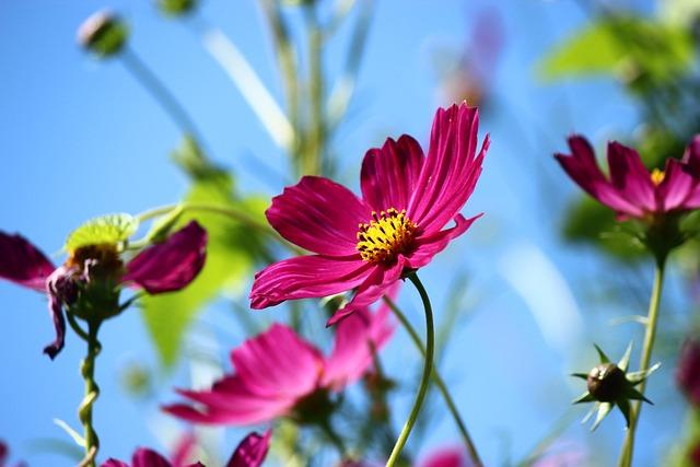 Flower, Spring, Cosmea, Cosmos Plant, Cosmos Bipinnatus