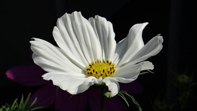 Cosmea, Cosmos, Blossom, Bloom, White, Shrub Summer