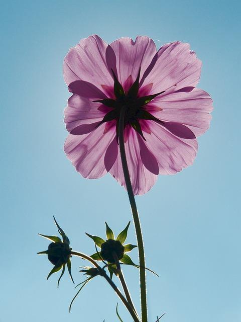 Cosmea, Cosmos, Flower Meadow, Back Light, Light Purple