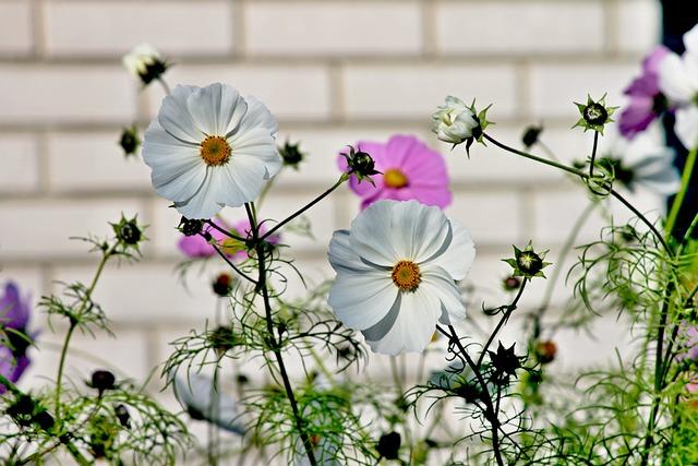 Cosmea, Flower, Cosmos Bipinnatu, Cosmos, Blossom
